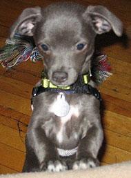 Italian+greyhound+chihuahua