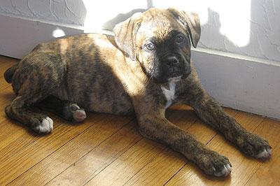 Boxer French Mastiff mixed breed dog