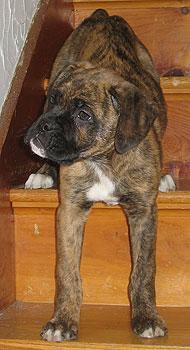 Boxer French Mastiff Mixed Breed Dog Online Dog