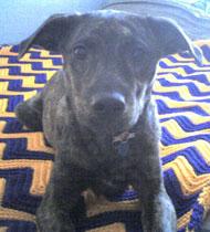 Plotthound Greyhound Mixed Breed Dog Online Dog
