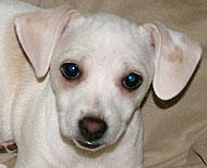 Chihuahua Beagle mixed breed dog - online dog encyclopedia - dogs in ...