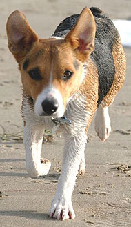 Pembroke Welsh Corgi Jack Russell Terrier mixed breed dog ...