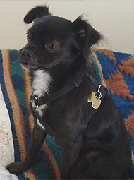 Chihuahua Mixed Breed Dog Online Dog Encyclopedia Dogs