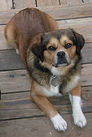 Beagle Tibetan Spaniel Mixed Breed Dog Online Dog