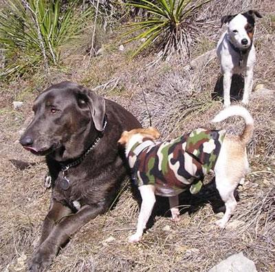 Labrador Weimaraner mixed breed dog - online dog