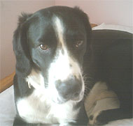english springer spaniel beagle mixed breed dog