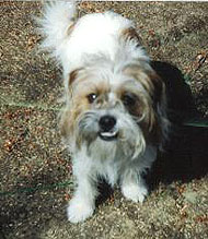 shih tzu jack russell terrier mixed breed dog