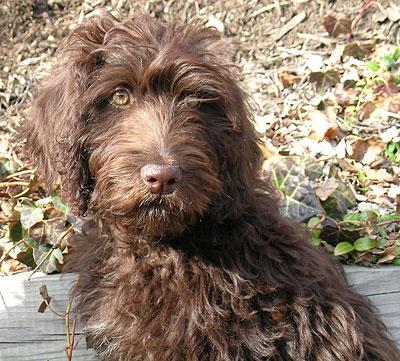Chocolate Lab Poodle Mix