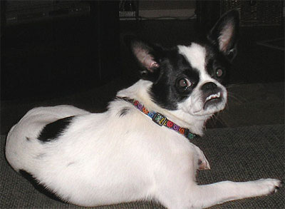pekingese chihuahua mixed breed dog - online dog encyclopedia - dogs ...