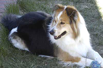 australian shepherd border collie mixed breed dog