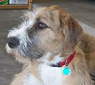 irish wolfhound st. bernard mixed breed dog