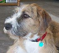Irish Wolfhound St Ber...
