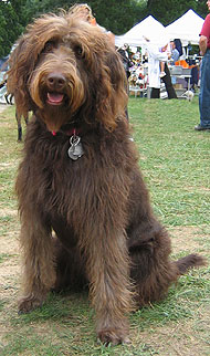 what a labradoodle dog looks like