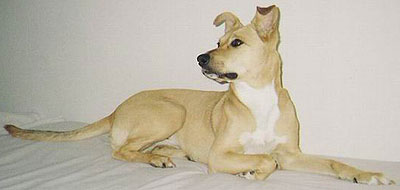 pitbull collie mixed breed dog