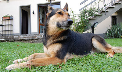 german shepherd collie