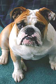Bulldog Nonsporting Dog Breeds From The Online Dog
