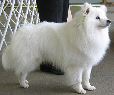 American Eskimo Puppies on Gender Female Species Eskimo Dog Position Mill Dog Appearence