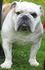 what an old english bulldog looks like