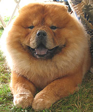 Chow Chow Dog Spitz Northern Dog Breeds From The