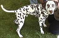 photo of a dalmation dog