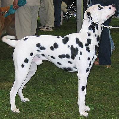 http://www.dogsindepth.com/nonsporting_dog_breeds/images/dalmatian_h03.jpg