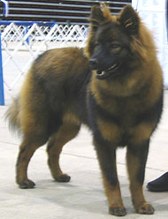photo of a eurasier dog