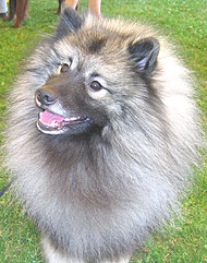 photo of a keeshond dog