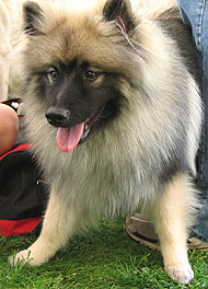 Keeshond Dog Nonsporting Dog Breeds From The Online Dog