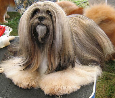 Lhasa Apso quite silently Dogs