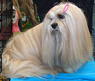 photo of a lhasa apso dog