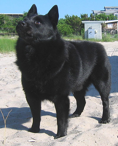 Schipperke Dog Spitz Northern Dog Breeds From The