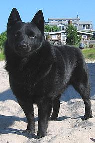 Schipperke Dog Spitz Northern Dog Breeds From The