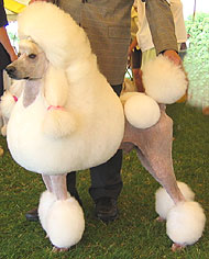 photo of standard poodle dog