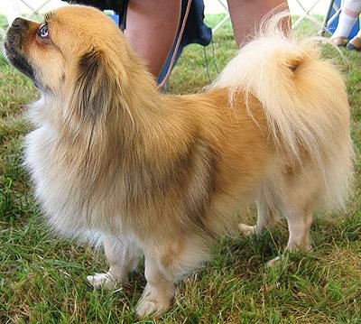 Dogs pictures / fotografije pasa - Page 4 Tibetan_spaniel_h02