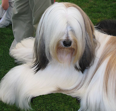 Tibetan Terrier Dog Nonsporting Dog Breeds From The