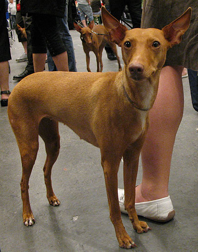 Cirneco Dell Etna Primitive Breed Dogs Online Dog