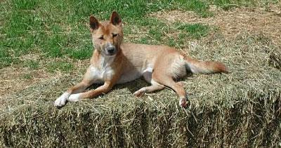 New Guinea Singing Dog Primitive Breed Dogs Online Dog