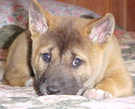 New Guinea Singing Dog puppy