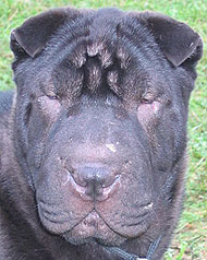chinese sharpei dog