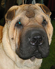 chinese sharpei dog - spitz dog breeds from the online dog