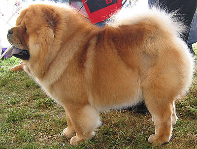 chow chow dog nonsporting
