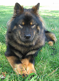 eurasier dog   spitz northern dog breeds from the online