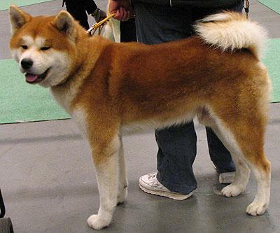 Asian Spitz Dog Breeds