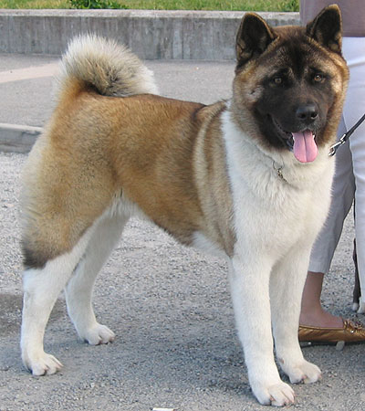 Japanese American Akita Spitz Breed Dogs Online Dog