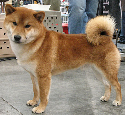 Shiba  Puppies on Shiba Inu Dog   Nonsporting Dog Breeds From The Online Dog