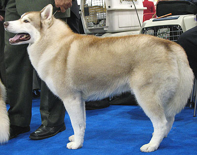 Siberian Husky Dog Working Dog Breeds From The Online