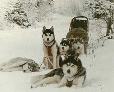 Сибирский хаски Собаки.  Каталог пород собак, виды собак, фото и описание.