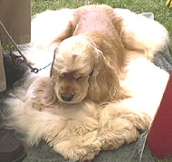 photo of an american cocker spaniel dog