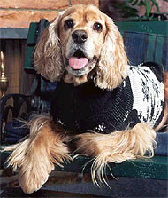 photo of american cocker spaniel dog