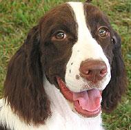 Brown English Springer Spaniel Dog